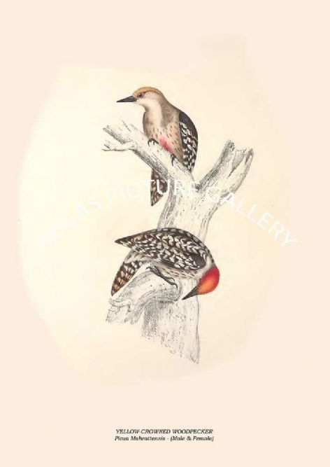 Fine art print of the YELLOW-CROWNED WOODPECKER - Picus Mahrattensis by John Gould (1831) reproduced by Segas Picture Gallery.